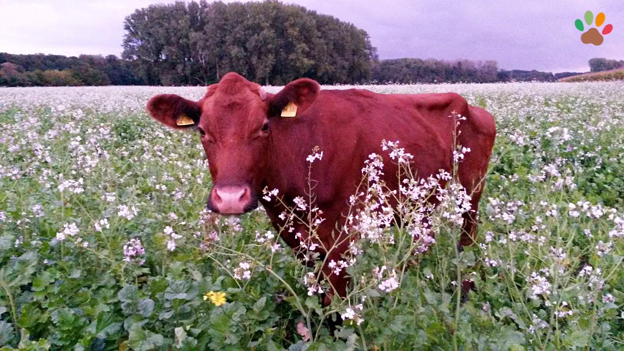 Elsa – die erste Kuh im Dorf Sentana