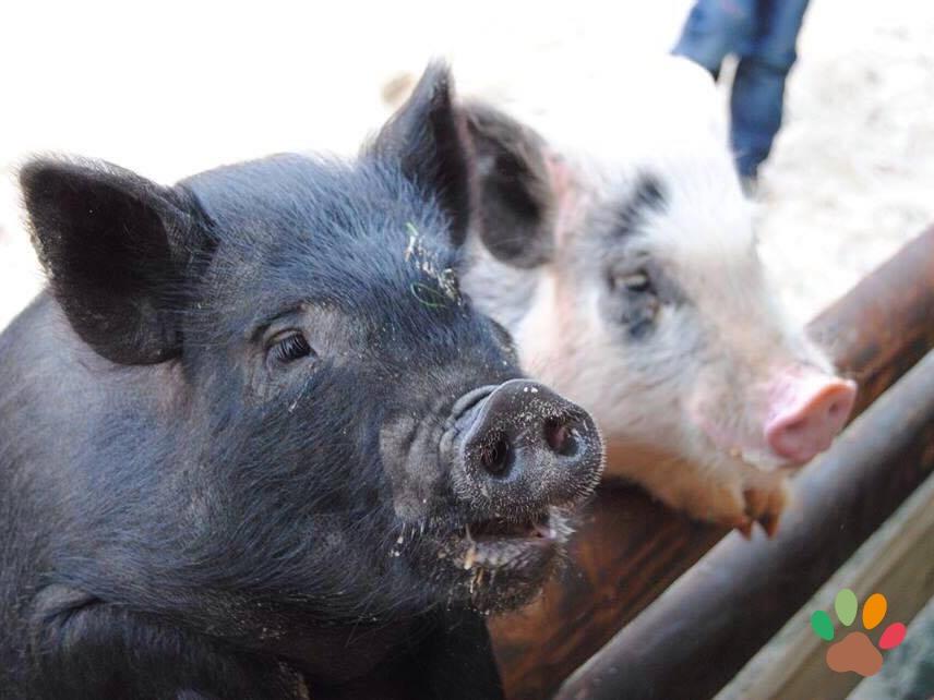 """Schweine und """"Minischweine"""""""