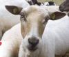 Jedes Leben wertschätzen: Schaf Gertrud darf ihren Lebensabend im Dorf Sentana verbringen