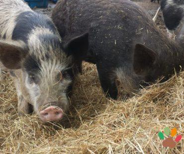 Minischweine im Stroh
