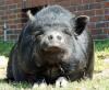 Die Mär vom Microschwein