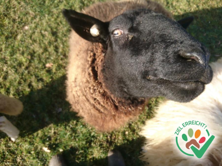 Eine Schermaschine für unsere Schafe