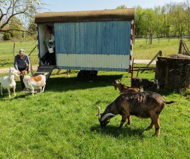 Die Ziegen bei ihrem neuen Bauwagen
