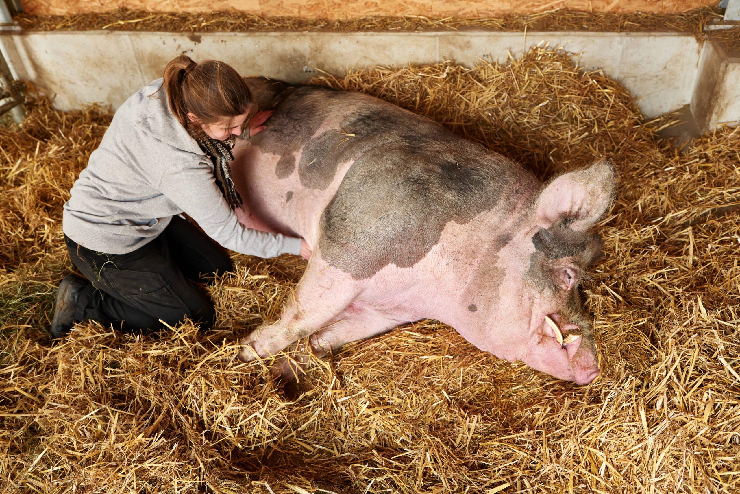 Sauwohl sieht anders aus – Schweine in der Landwirtschaft