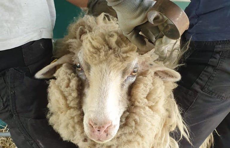 Eine neue Sommerfrisur für die Schafe
