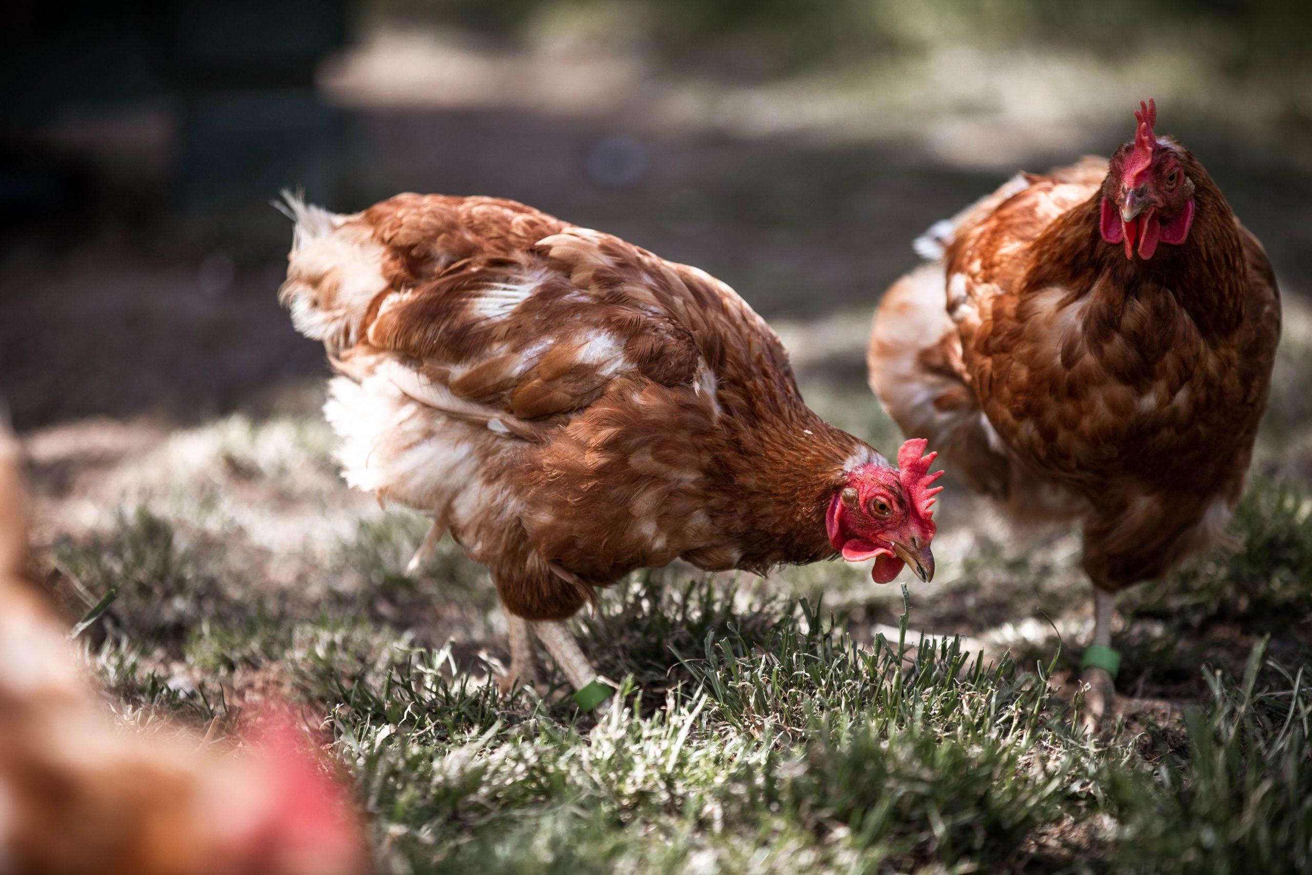 Das Sozialverhalten von Hühnern