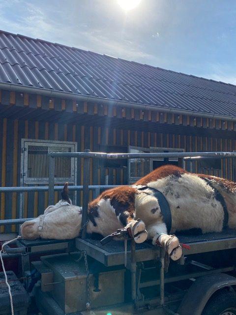 Klauenpflege für die Rinder