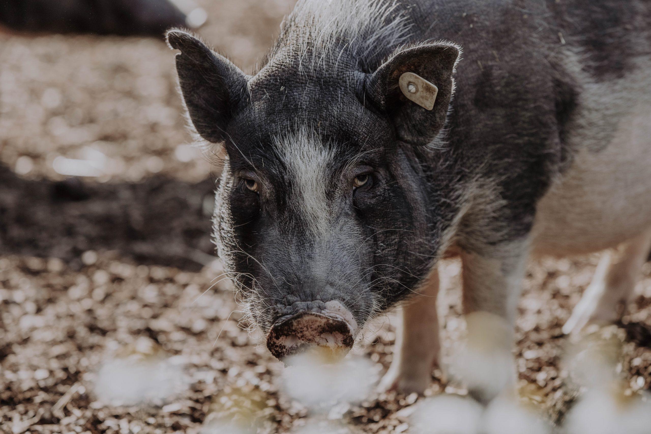 Müsli für die Mini- und Hängebauchschweine
